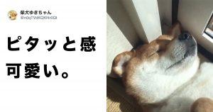 【朗報】テトリスみたいな柴犬が発見される