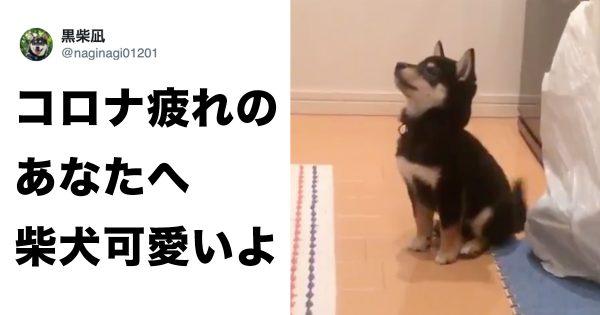 ピョン跳ねする小柴犬の「癒し」がヤバい。