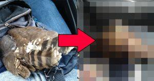 弱ってたフクロウを保護したら、態度が急変!「すぐに解放せよ」