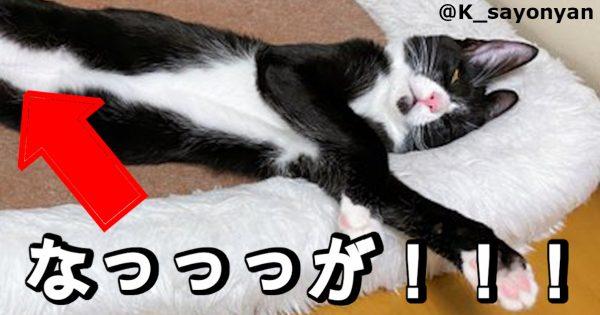トムとジェリーかよ!「ネコの長さ」が想像を超えてきた奇跡の写真ww