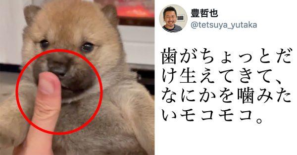 【10万人が悶えた】赤ちゃん柴犬の指チュパチュパが犯罪的な可愛さ!