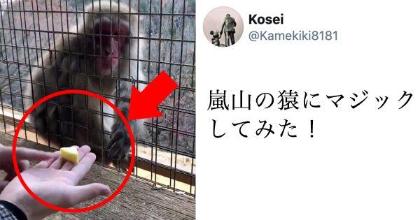 【17万人が吹いた】「お猿さんにマジックしてみた」のリアクションが100満点すぎるwww