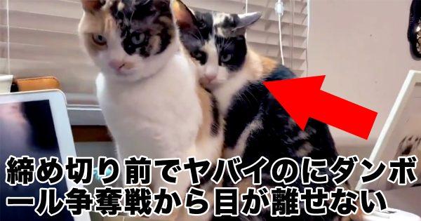 作業に集中できないw 猫同士の「段ボール争奪戦」に目が釘付け!