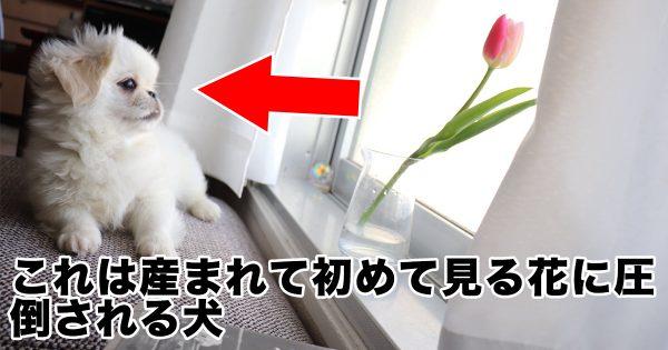 【ほっこり】子犬が産まれて初めて「お花」を見た瞬間がこちら☺️