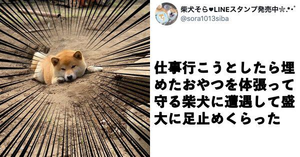 お菓子を必死で隠すも…「バレバレすぎる」柴犬に9万人がキュン!