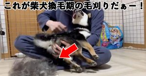 30秒間にまとめた「柴犬の毛刈り祭り」が…「恐ろしい」「もう1匹ワンコ出来そう」