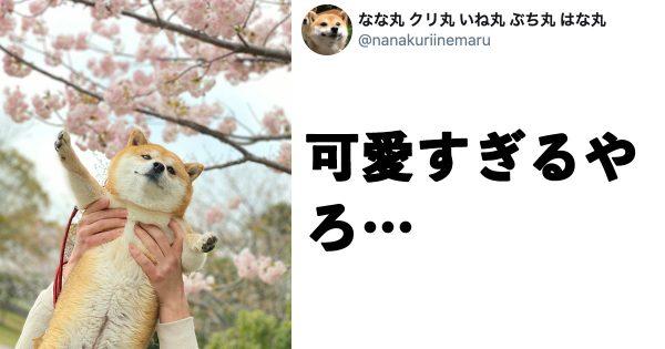 【44万いいね】春満開の「柴犬ベストショット」が可愛すぎて和む