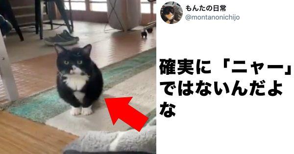 【大人気猫もんた】絶対「ニャー」じゃない可愛い鳴き声に悶絶🥰