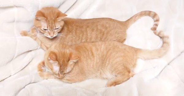 【13万いいね獲得】尻尾が「♡」な猫ちゃんにキュン🥰