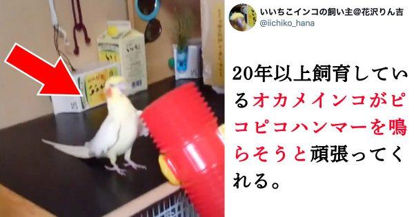 【ただ可愛い】お爺ちゃんインコ(25歳)の超ノリノリ動画に元気貰った