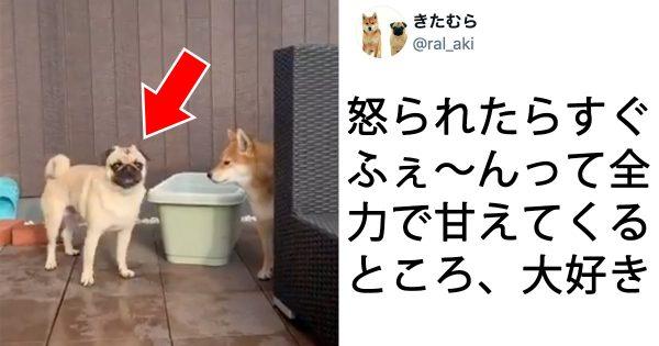 【220万再生】柴犬にフラれたパグの「甘えん坊しぐさ」が可愛すぎると話題