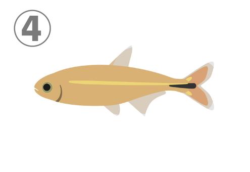 キャメル色にクリーム色と黒の線が入った熱帯魚