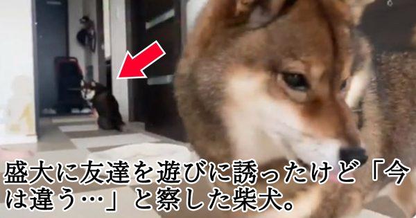 柴犬だけど空気は読めるよ…。動画「友達の様子になにかを察する犬」が170万再生を突破