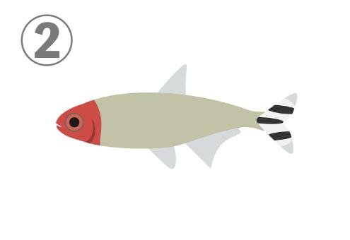 くすんだクリーム色、顔が赤、尾びれが縞模様の熱帯魚
