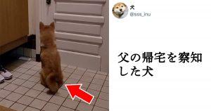 「お父さん帰ってくる!」柴犬が玄関で待機する健気な姿に、16万人がキュン♥