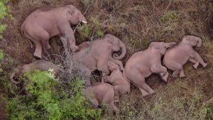 中国雲南省でゾウが大移動&お昼寝。報道にYouTube民は「家族旅行かも」