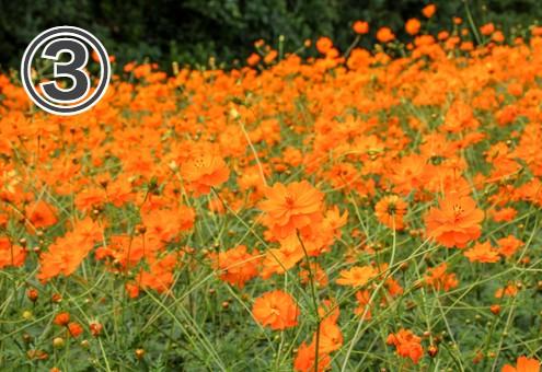 オレンジのコスモス畑