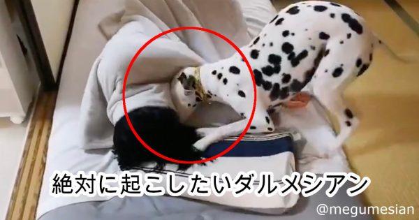 【人間vs犬】「飼い主を絶対起こしたい」ダルメシアンの攻撃がキュート過ぎ!