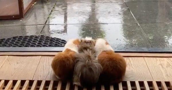 【5万いいね】「モルモット兄妹の雨宿り」の可愛さに梅雨の憂鬱ふっ飛びました♡