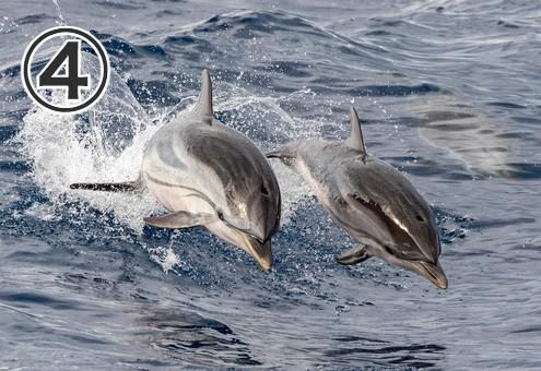 仲間と一緒に海をジャンプしながら泳ぐイルカ