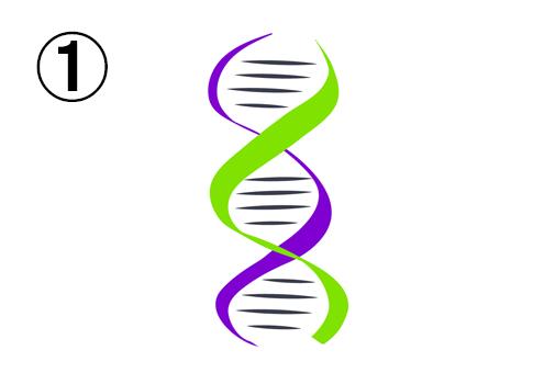 紫と黄緑の、細めのDNA