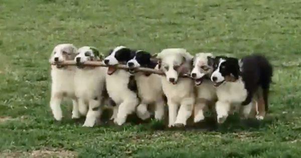世界一可愛いアベンジャーズ!枝が大好きな7匹の子犬が可愛すぎて困る
