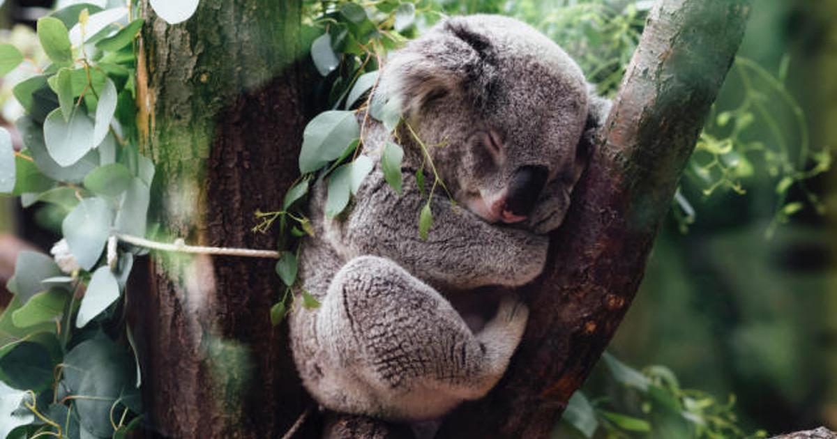 【体験可能!】寝具や家具があるコアラのお部屋って?