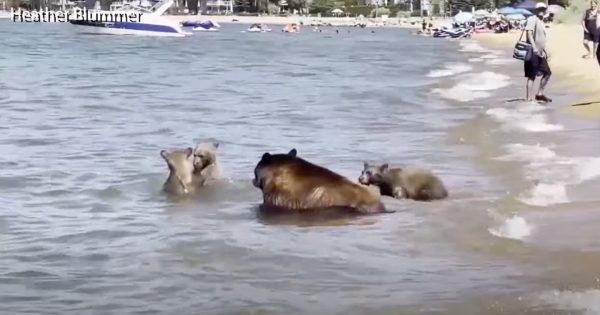 猛暑の影響か。ビーチを楽しむ「クマの親子」が海外で目撃される