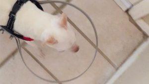 盲目の愛犬にも「歩く楽しさ」を…。飼い主の《秀逸アイデア》にほっこりしました