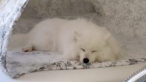 涼しそう…。もこもこサモエド犬の《賢い扇風機の使い方》が話題です