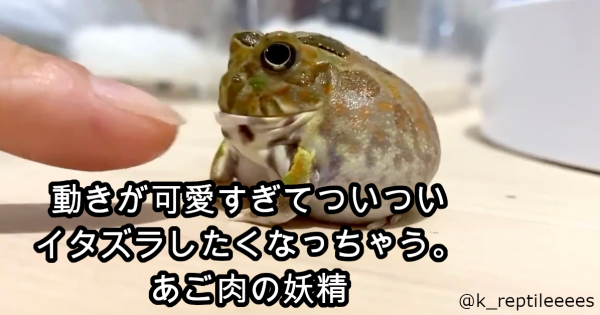 なんだこの可愛い生き物!触るとアゴがしゃくれる「チャコガエル」が話題です