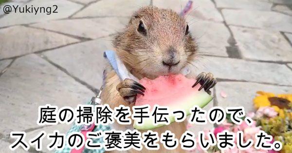 【133万再生】「プレーリードッグがスイカを上品に食べるだけ」が絶妙に夏らしくて最高