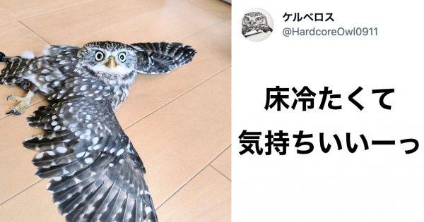 Twitter18万いいねの「暑すぎて溶けたフクロウ」が可愛すぎるんじゃ~!