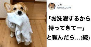【犬の手も借りたい】洗濯物を運ぶ「お手伝いコーギー」にメロメロです…!
