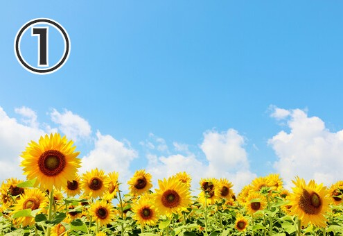 青い空、白い雲、ひまわり畑の写真