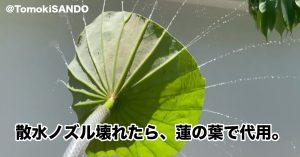 蓮の葉で水撒きができる?!詳しい構造を投稿者の写真で解説!