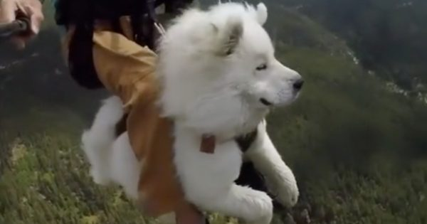 【TikTok68万いいね】ふさふさサモエド犬を「パラグライダー」に乗せると…?