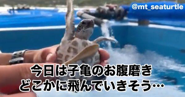 パタパタパタ!きっと今は自由に空も飛べるはず♪…な「ウミガメ動画」が252万再生を突破!
