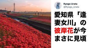 8万いいねの絶景。愛知県・逢妻女川の「彼岸花の絨毯」が美しすぎると話題