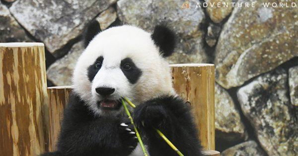 赤ちゃんパンダ「楓浜」が誕生1周年!コラボホテルにファン歓喜「ドキドキして眠れない」
