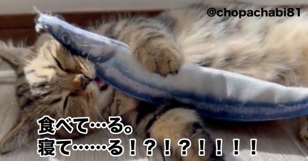 食べて眠って\26万再生/。お魚くわえた「爆睡マンチカン」が可愛すぎると話題